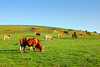 brown cows grazing (Mimadeo) Tags: brown grass animal rural mammal countryside cow cattle cows farm beef country hill farming meadow domestic pasture agriculture calf livestock herd bovine grazing
