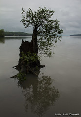 Solitude (scottnj) Tags: reflection tree water creek solitude grow growth hudsonriver growing esopuscreek scottnj scottodonnellphotography