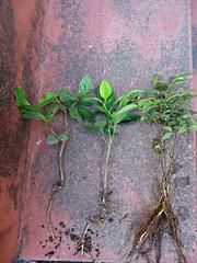 Mix de Jabuticaba Goiaba Mixirica (3) (jemaambiental) Tags: mamadeira jabuticaba bonsais goiaba mixirica prébonsais bonsaístas preparaçãodebonsais mixdeespécies