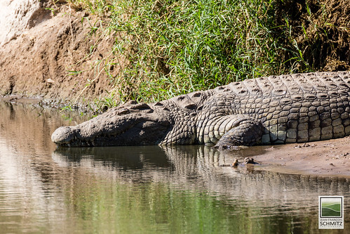 Crocodile  at Serengeti National Park - © 2015 Jean-François Schmitz