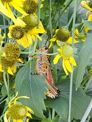 You can't see me (NurseShots) Tags: flowers orange green yellow nikon coolpix grasshopper hidding p600