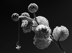 Mimosa with spider (kunstschieter) Tags: bw macro mimosa spider monochrome spiderwithprey