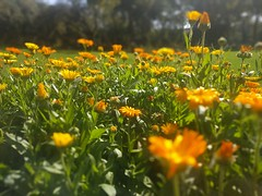 Deep in their roots, all flowers keep the light. ~ Theodore Roethke 🌻🌻 (i.jay.mehta) Tags: home vadodara india incredibleindia gsfc flowers naturephotography nature naturelovers colors peaceful gujarat mobilephotography magic magicmoments smalljoys fragrance sunlight