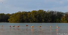 IMG_7269 IMG_7235 Flamants roses - Phoenicopterus ruber roseus (Danièle T) Tags: flamants roses oiseaux phoenicopterus ruber roseus marécage eau rivière cuba