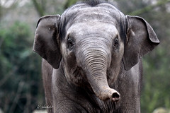 I know you !! (K.Verhulst) Tags: sunay aziatischeolifant aziatischeolifanten asiaticelephants elephant elephants olifanten olifant blijdorp blijdorpzoo diergaardeblijdorp rotterdam