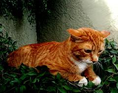 f_gato_2 (ricksoloway) Tags: animals arizonamojo critterpix tucsonarizona cameraphone samsungs6 cats