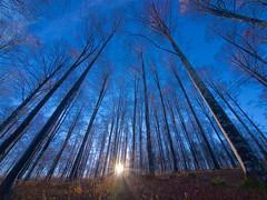 Guglie rivolte al cielo (Fernando De March) Tags: imponenti guglie cielo alberi faggi colonnari foresta cansiglio dogi alpago belluno veneto sole raggi
