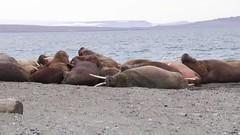 The walrus were extremely excited to see us! (Jim Scarff) Tags: mammals marinemammals odobenusrosmarus pinnipeds wildlife walrus hinlopenstrait spitsbergen svalbard