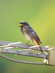 Black Redstart (Phoenicurus ochruros) (piazzi1969) Tags: italy birds chats wildlife trentino phoenicurusochruros blackredstart valsugana roncegno redstarts