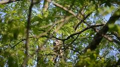 barred owl with a fish (bob schlake) Tags: birds owls barred okeana