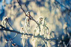 Spring Birch (Lerenka) Tags: park new wood flowers summer wallpaper white plant color detail macro tree green art texture nature beautiful beauty up closeup garden botanical design photo wooden leaf spring still day branch close natural bright outdoor background text group over fresh twig birch organic desktops lush copy isolated element freshness detailed botanyviewimagesbycategory