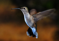 Motion Blur (Bill Gracey) Tags: color bird nature birds feeding feeder calif sugar motionblur nectar poway annashummingbird wildbirds trochilidae hummingird manualmode wildbird offcameraflash notpoliticallycorrect tinyterror yn560 yn560ii yongnuorf603n