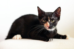 130515_Cubby_001 (furry-photos) Tags: pet cat kitten adopt adoption