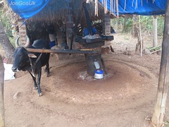 Ox - Driven Coconut Oil mill (joegoauk72) Tags: cow bullock goa bull oxen joegoauk