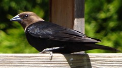Jun4,2013f 026 Brown-headed Cowbird, male (terrygray) Tags: brownheadedcowbird