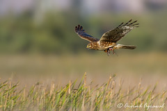Northern Harrier - IMG_9444 (arvind agrawal) Tags: