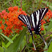 Protographium marcellus - Zebra Swallowtail, on Butterfly Weed.