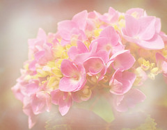 Hydrangea (keeva999) Tags: flowers summer macro texture nikon iowa hydrangea reimangardens d3200 memoriesbook pattibrown