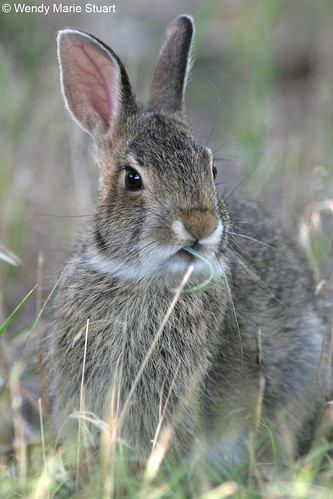 Photo - Morning Munchies - A cottontail rabbit nibbles some grass.