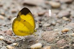 Borneon Yellow Butterfly (Ringgo Gomez) Tags: 1001nights pictureperfect macroextreme macrolicious flickraward malaysianphotographers macrolife nikond700 perfectphotographers sarawakborneo 1001nightsmagiccity flickraward5 mygearandme flickrawardgallery