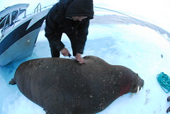 Walrus Hunt 8_5_13 1 346 (efusco) Tags: ocean sea ice alaska native arctic butcher hunter beaufort walrus hunt midnightsun iceburg floe inupiat inupiaq aivik femalewalrushunt85131