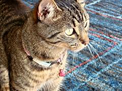 Looking outside (Deejay Bafaroy) Tags: portrait pet cute animal closeup cat eyes feline kitty porträt katze augen haustier tier moggy mieze katzenaugen tigerli büsi