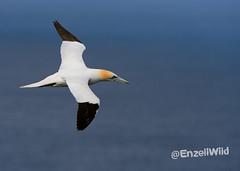 DSC_2666 (Martin Farrell) Tags: shetland gannet hermanessunst