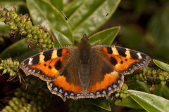 "Small Tortoiseshell Butterfly • <a style=""font-size:0.8em;"" href=""http://www.flickr.com/photos/57024565@N00/9609423028/"" target=""_blank"">View on Flickr</a>"