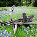 2nd Place - Color Prints - Richard Youngblood - Stump in Bluebonnets