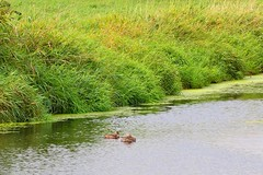 Serpentine Fen Nature Park (careth@2012) Tags: reflection nature duck nikon scenery britishcolumbia