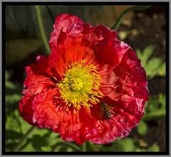 Toowoomba Flowers Poppy-04=
