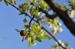 Mamangava polinizadora 005 (Parchen) Tags: flores flor abelha inseto bombus mamangaba polinização mamangava polinizadora polinizando besouromangangá vespaderodeio marimbondomanganga parchen carlosparchen abelhaderodeio