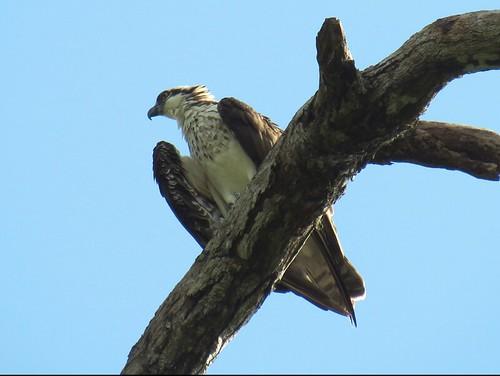 Águila Pescadora en Puerto Viejo