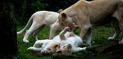 Lions blanc ...