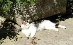 mugnano siesta cat (kexi) Tags: sleeping italy sunlight white june cat relax italia samsung shade heat siesta lazio mugnano instantfave 2013 wb690