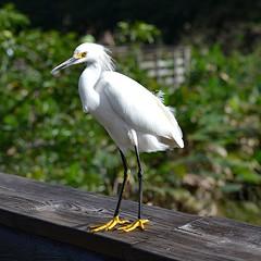 Snowy Egret has black legs and bright yellow feet (jungle mama) Tags: heron egret snowyegret mygearandme blacklegsandyellowfeet wakodahatcheewetlandsdelraybeachfl sunrays5