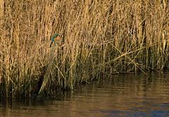 Distant splash of colour (Chalto!) Tags: bird hampshire kingfisher titchfield titchfieldhaven woodking