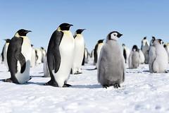 Antarctica (Christopher.Michel) Tags: penguin antarctica ali emperor ane