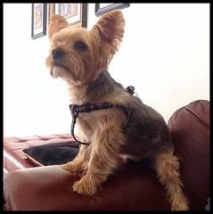 Clark (ha! designs) Tags: family dog clark yorkshireterrier yorkiepoo 2013 hadesigns