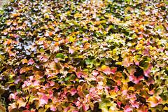 Autumnal (Mister Rad) Tags: autumn red orange colour green london leaves wall vine southwark nikon50mmf14 nikond600