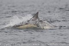 Short Beaked Common Dolphin (Delphinius delphis) 22 Aug-10-46557 (tim stenton www.TimtheWhale.com) Tags: skye mammal scotland tim isleofskye dolphin hwc whalewatching hebrides gairloch cetacean commondolphin delphinidae delphinusdelphis shortbeakedcommondolphin odontocetes hebrideanwhalecruises timstenton hwc2012 wwwtimthewhalecom timthewhale