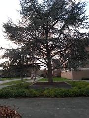 gemeenteplantsoen met hedera en naaldboom in bak (robinhasbeeldenbank) Tags: hedera 0416 lariks drunen boombak heestervak 3030tegels