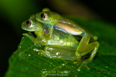 how to get glass frogs in pocket frogs
