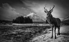 Stag mono (Scott Robertson (Roksoff)) Tags: autumn winter red house snow mono hotel scotland highlands nikon stag argyll scottish calm glen na deer kings monarch glencoe sliver ba 24mm loch moor blizzard tame mor hind buachaille etive lochaber lochan rannoch d600 stob 28d efex criese hachlais