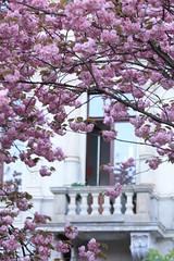 Under loves heavy burden do I sink. --Romeo (Fatimarani) Tags: pink flowers tree germany cherry do sink balcony balkon blossoms krefeld loves heavy burden under i kirchblten romeo