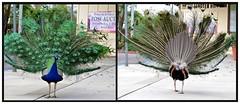 struttin' his stuff... (star krek photography) Tags: male bird nature fan nikon feathers arboretum peacock iridescent avian peafowl d3100