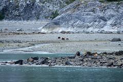 _MG_4210a (markbyzewski) Tags: alaska cub ugly brownbear grizzlybear glacierbaynationalpark