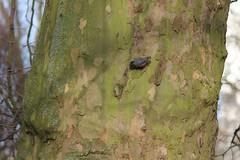 Boomklever (Ron van Zeeland) Tags: birds rotterdam vogels platanus nuthatch sittaeuropaea plataan boomklever