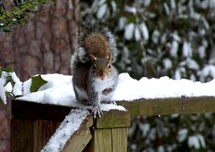 Forget Peanuts, We Want Mittens! (ChicaD58) Tags: winter snow cold nature outdoors backyard squirrel ngc explore critters photosandcalendar 186a middlega winterstormleon raresnowday wewantmittens
