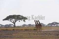 10070820 (wolfgangkaehler) Tags: africa four kenya african wildlife giraffe amboseli kenyan eastafrica eastafrican giraffacamelopardalistippelskirchi masaigiraffe amboselinationalpark amboselikenya amboselinatlparkkenya